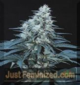 cannabiogen caribe female marijuana seeds for sale online